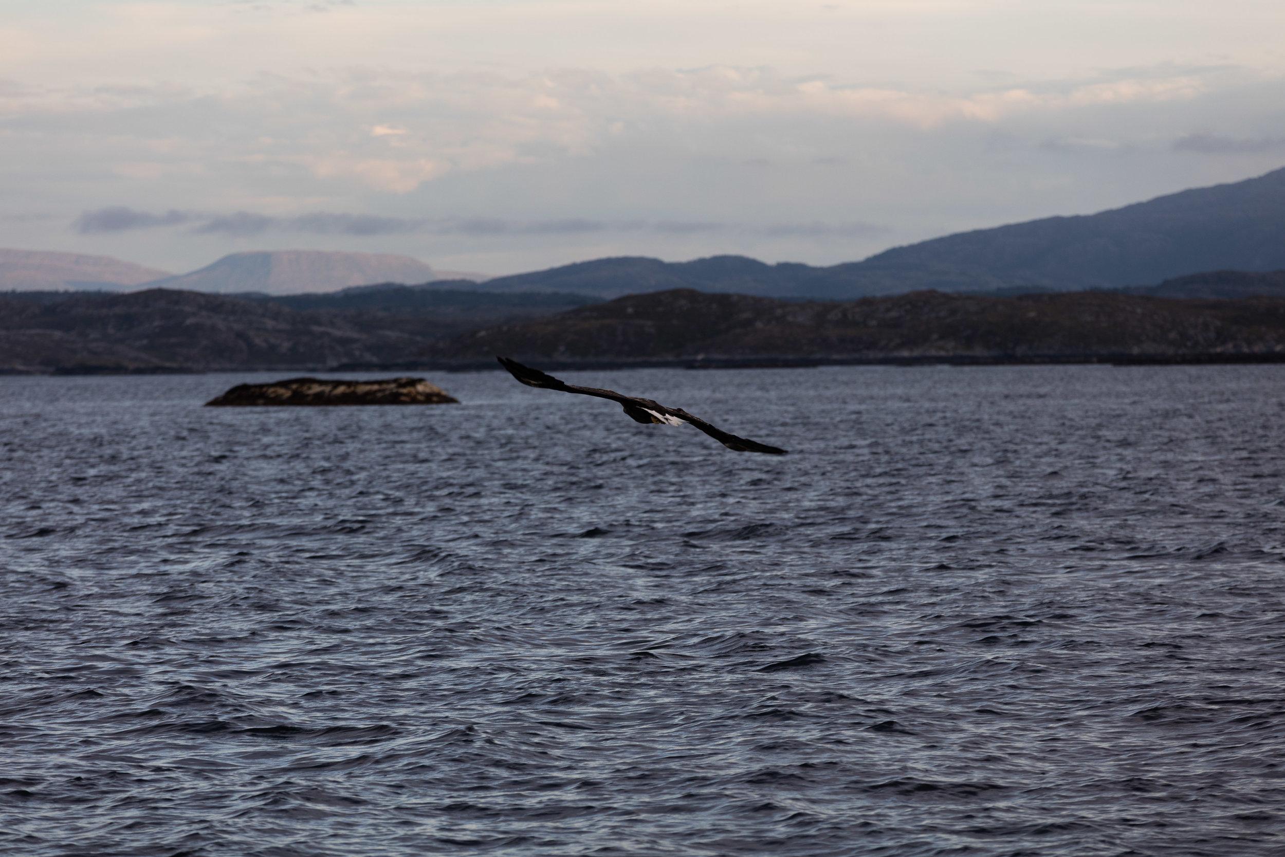 Ørn-Hitra-Norge-norway-fotoknoff-sven-erik-knoff-1155.jpg