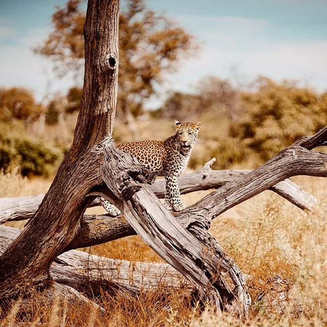 Damn I haven't posted in a while! Finally got some time to work on my Botswana video. I'm super happy with the visuals I got and can't wait to share it with you! In the meantime, here's a leopard 🤓 #safari #leopard #wildlife #botswana #greatplainsconservation