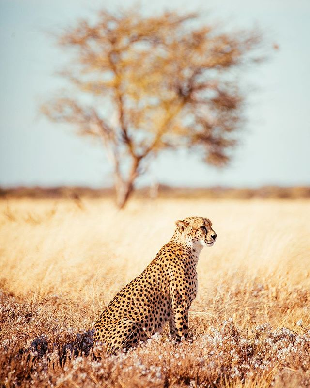 With top speeds of 115km/h the cheetah's body is built for speed and seeing them evolving in tall grasses, I'm must admit they inspire respect