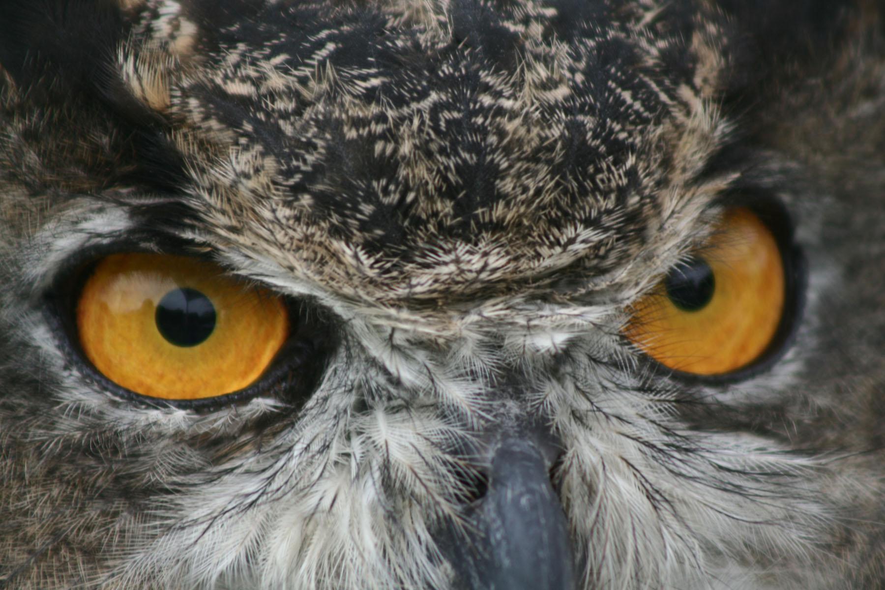 Great horned owl at John Heinz National Wildlife Refuge in Philadelphia, Pennsylvania.Credit: Susan Rachlin/USFWS   Photo by SandyMossPhotography/iStock / Getty Images