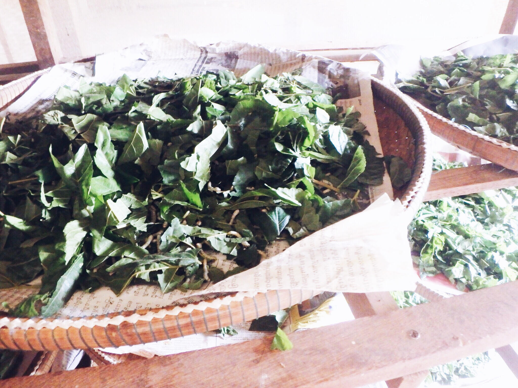 These are the mulberry leaves that are fed to a basket of silk worms.