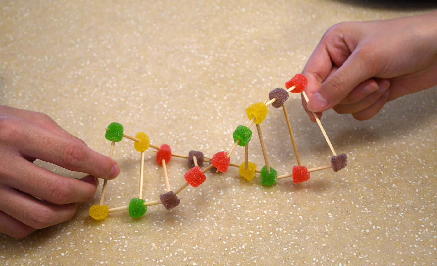 Model DNA made of gummy sweets and toothpicks - note the complementary base pairing