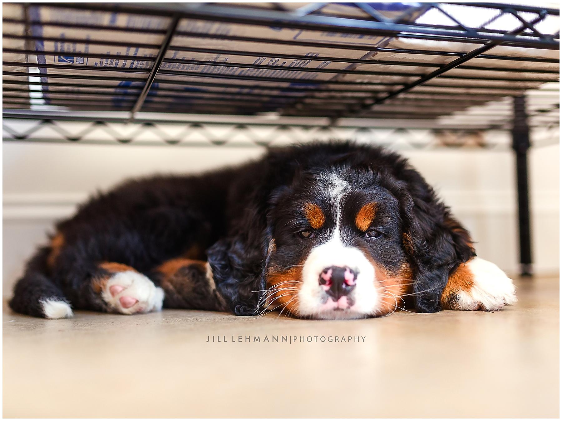 A Sleepy Bernese Puppy!