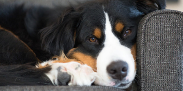 Huffington Post / Quebec - (of note, I have no idea what that says or what this article about. My Canadian friends who share the love fo Bernese Mountain Dogs knew it was Birdie as were excited to see it printed in their paper.