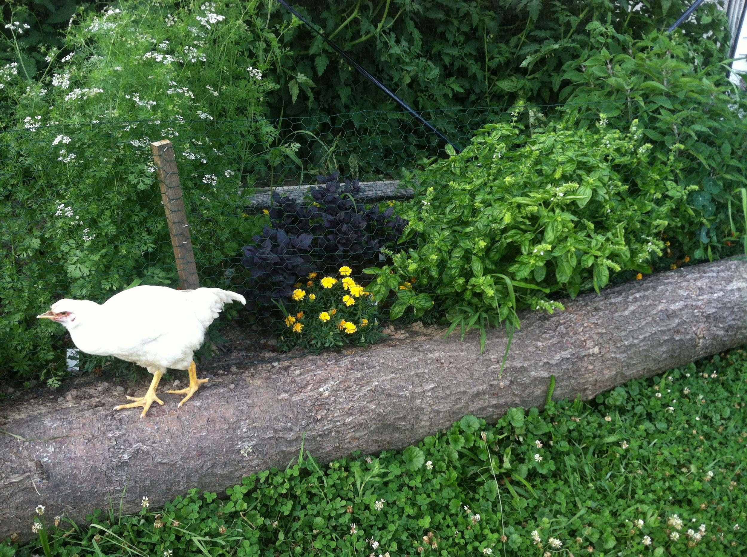 half beak and herbs .JPG