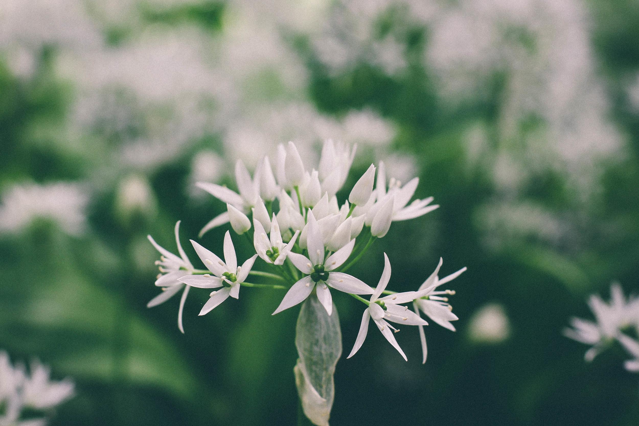 Wild Garlic - carolyn carter photography
