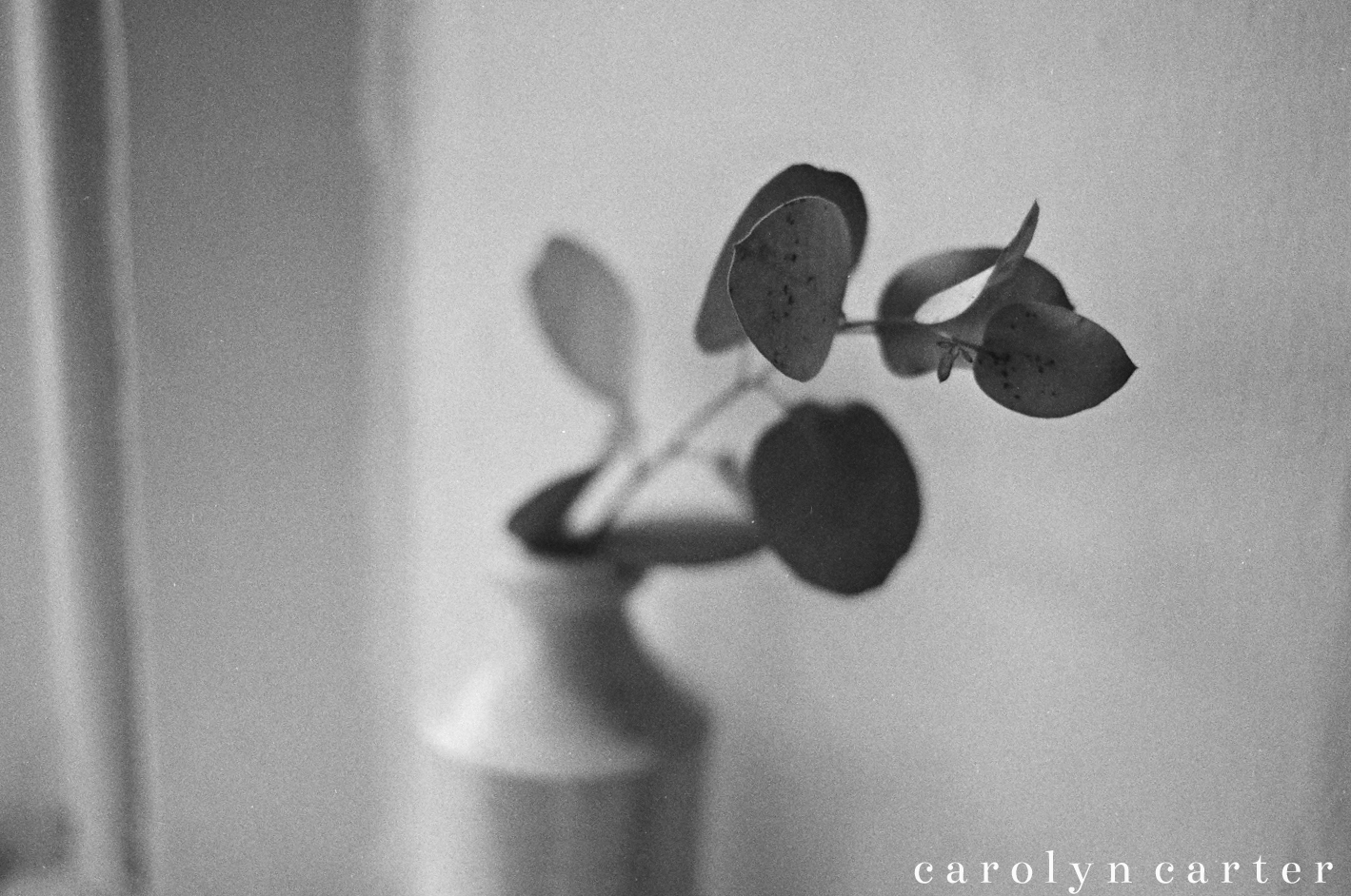 eucalyptus photography | carolyn carter