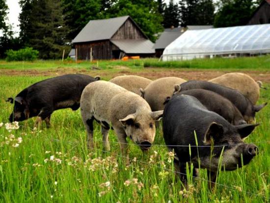 Heritage-breed hogs raised on pasture at Bluestem Farm.