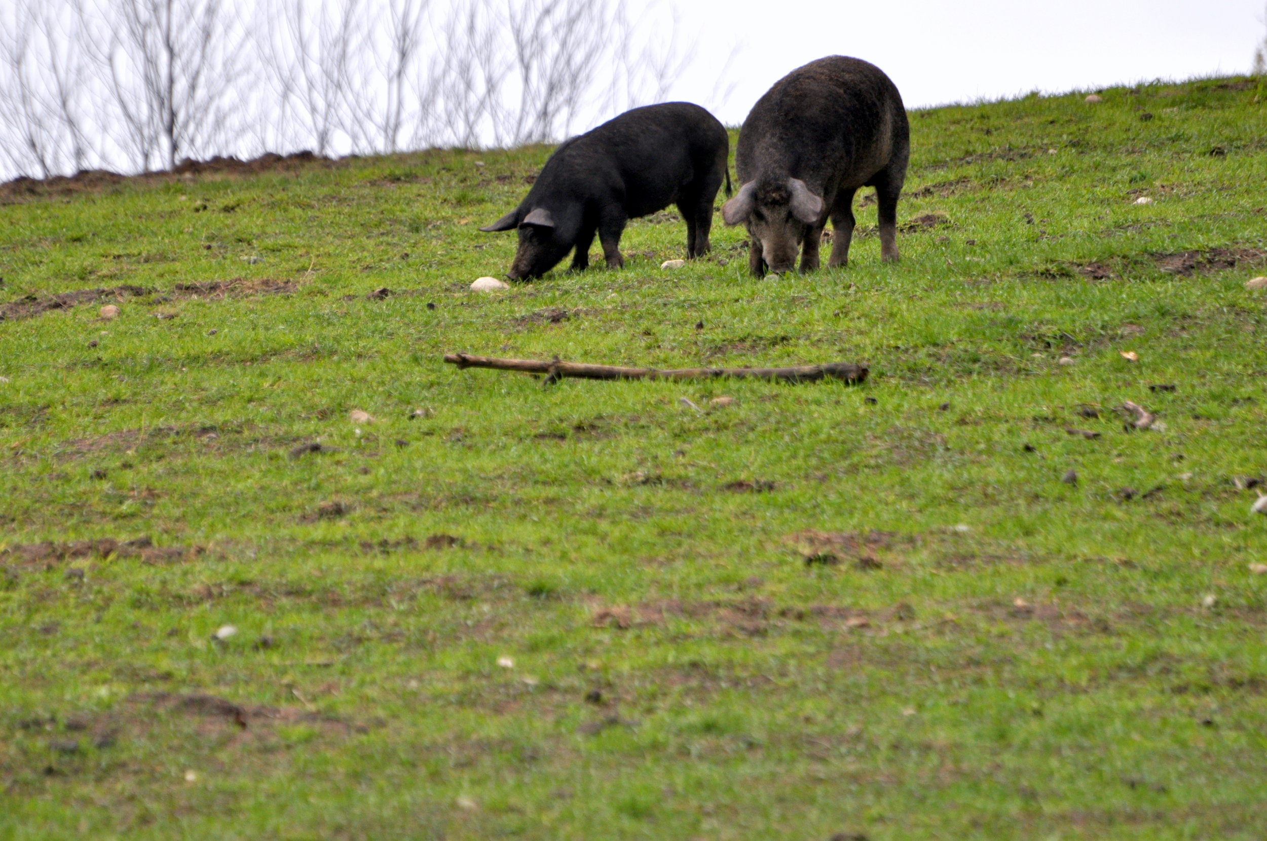 Heritage pigs on pasture.