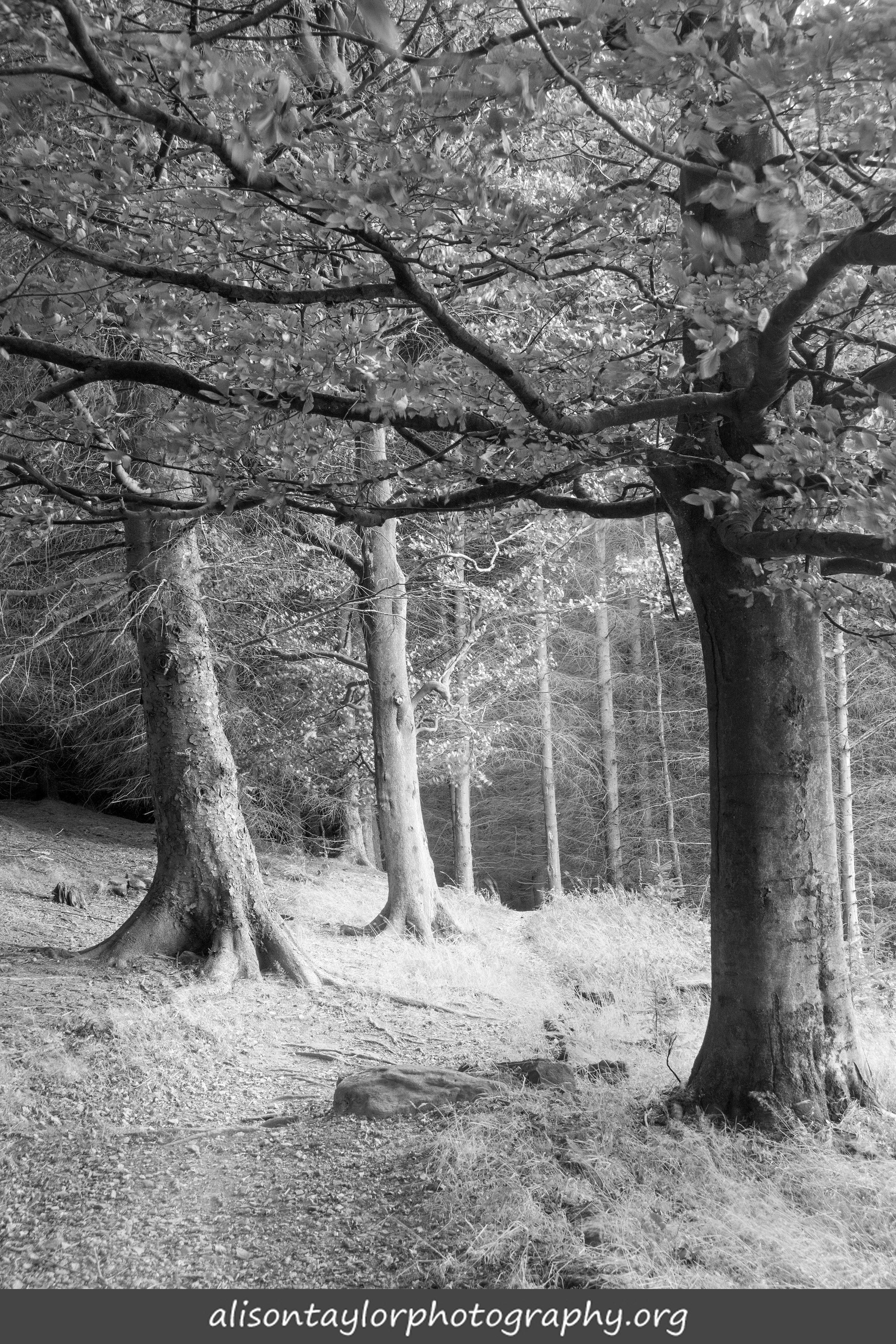 sunbeams in the conifers
