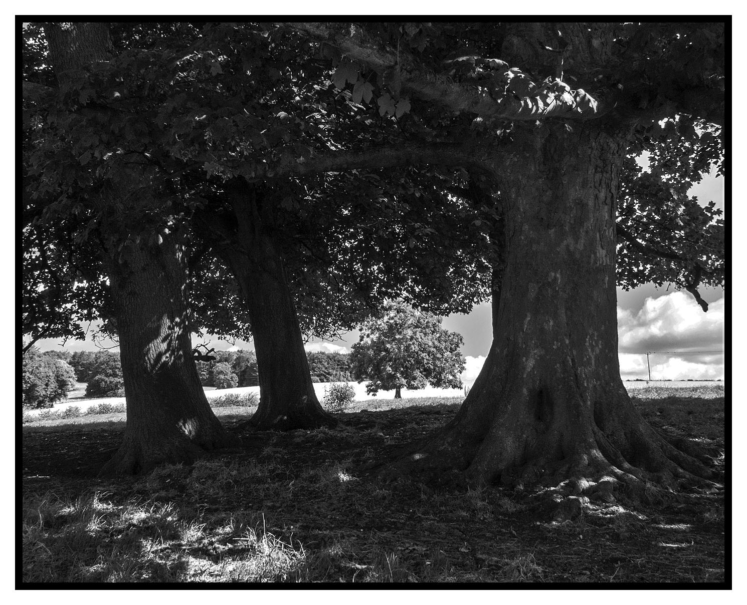 Londesborough Trees