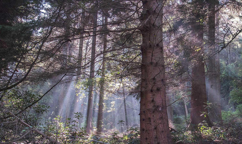Sunbeams at Byland Wood