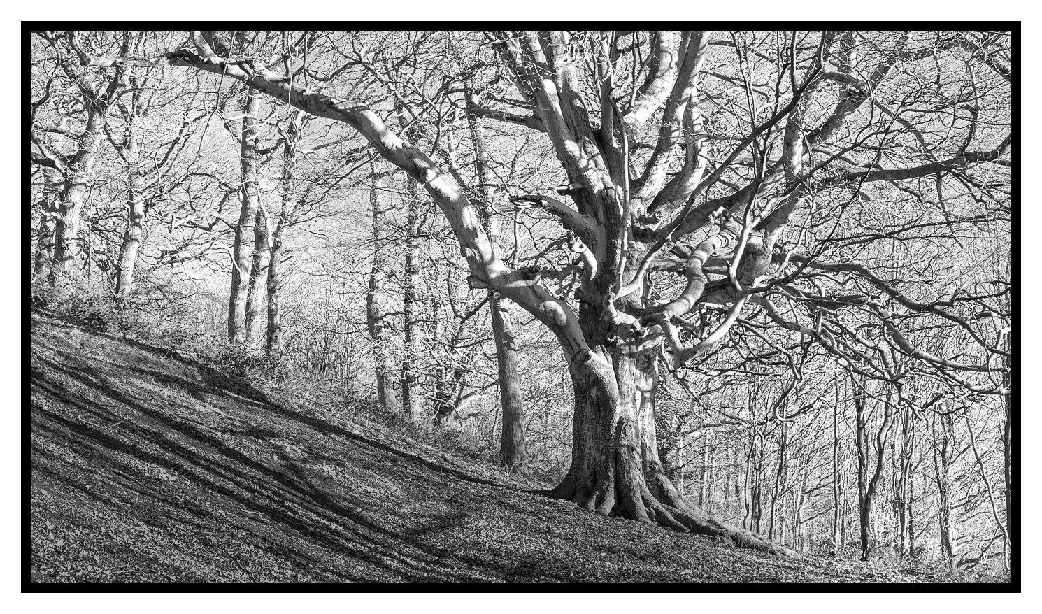 Tree in Cliff Ridge Wood