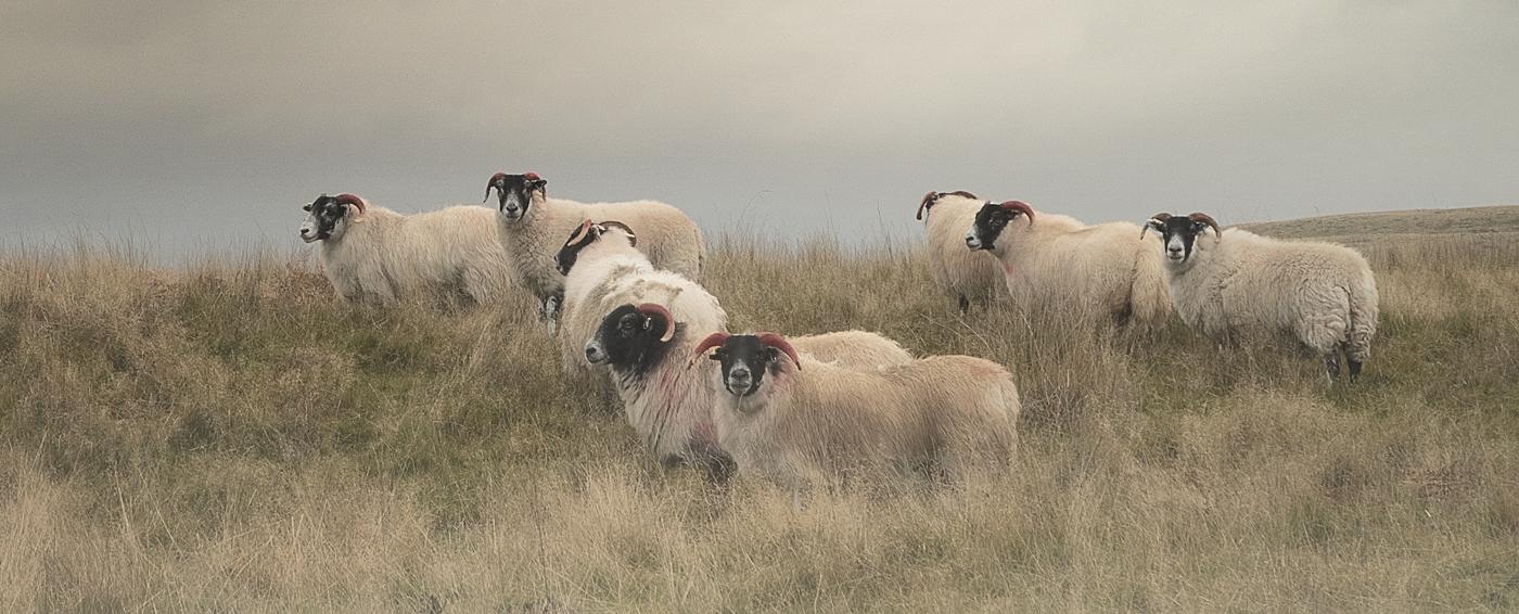 sheep at New Plantation