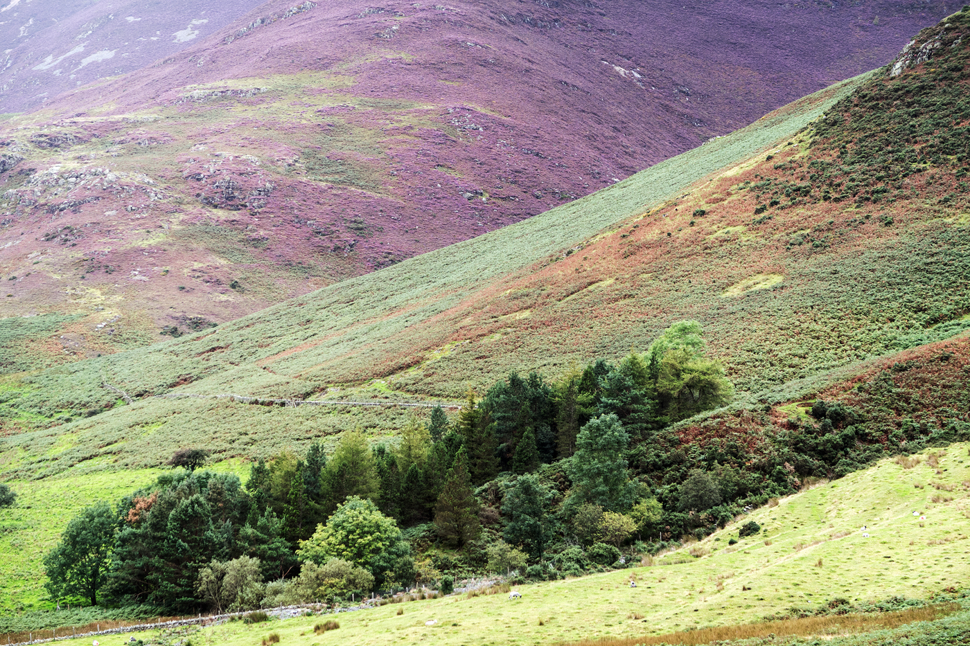 Rannerdale heather and ferns 2