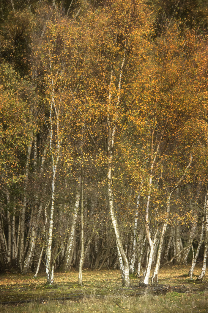 Silver birch paradise