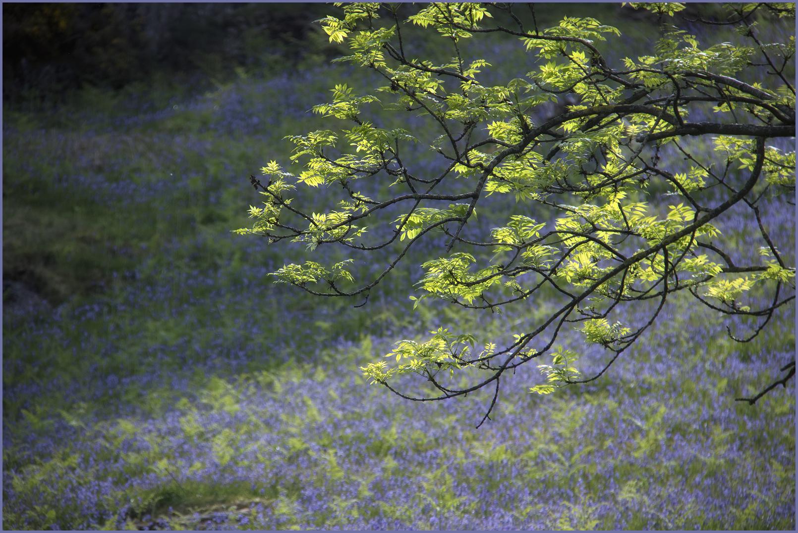 Rannerale Bluebells