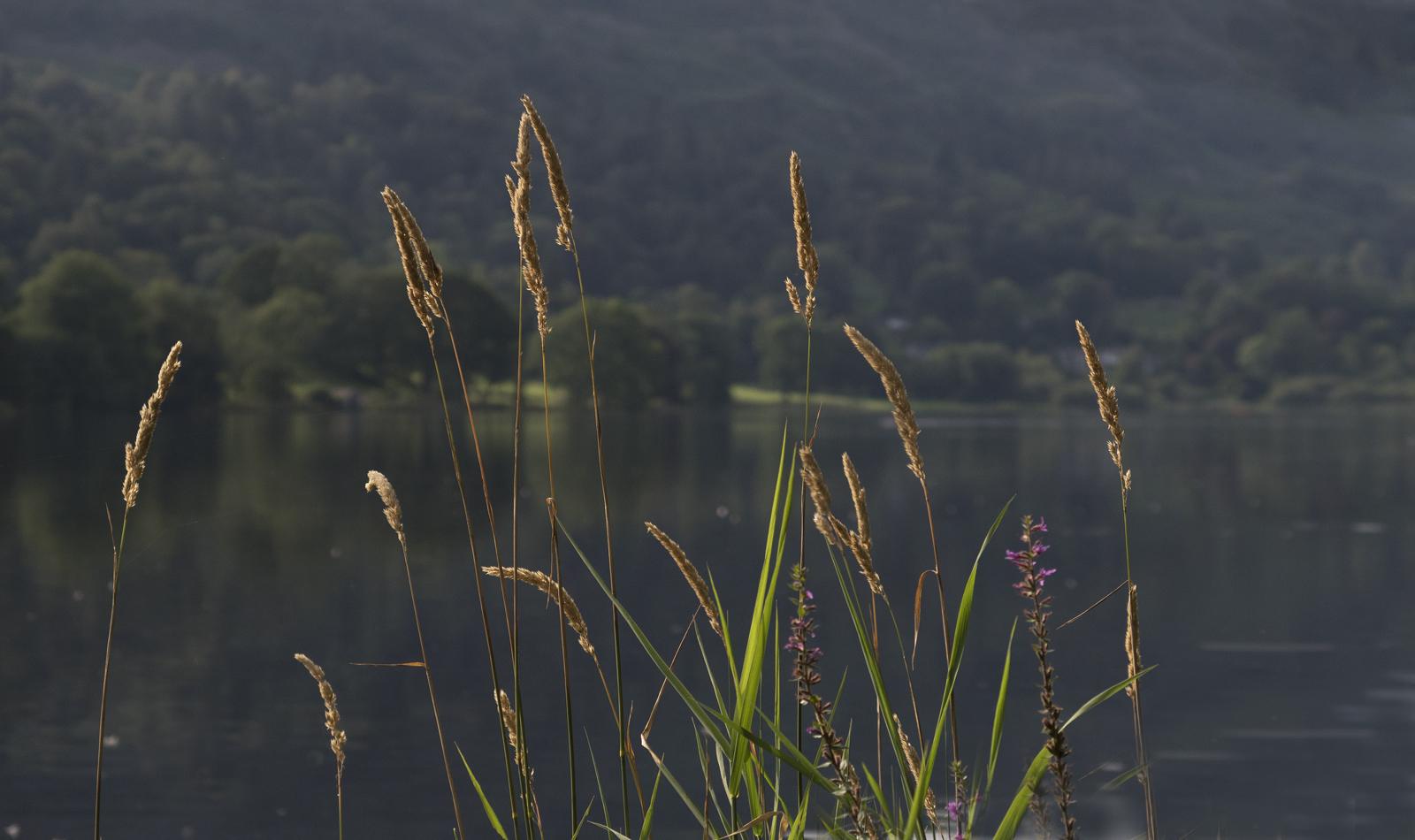 Grasmere Grasses