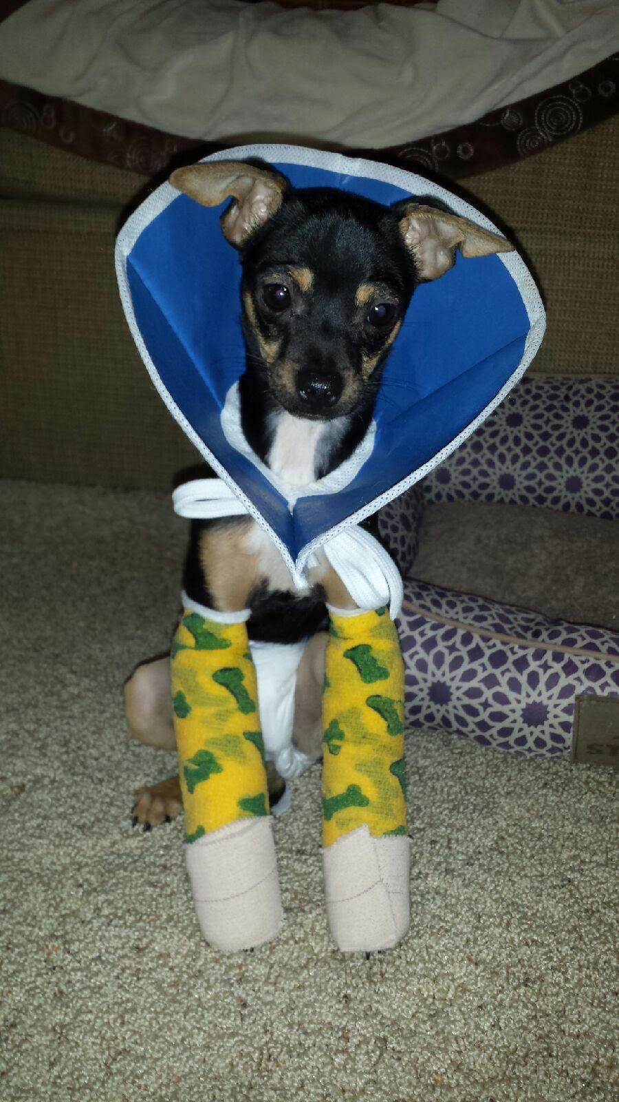 Bearito in his first splint/bandage wrap.