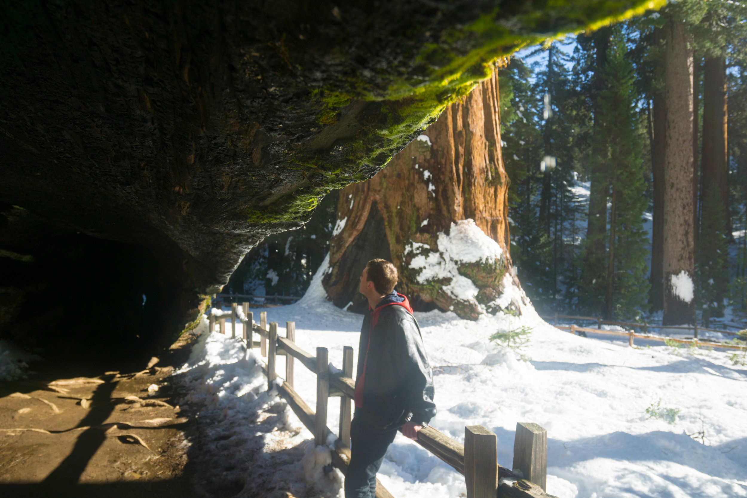 The Mark Twain tree is so large in fact, that it acts as a tunnel through Grant Grove.