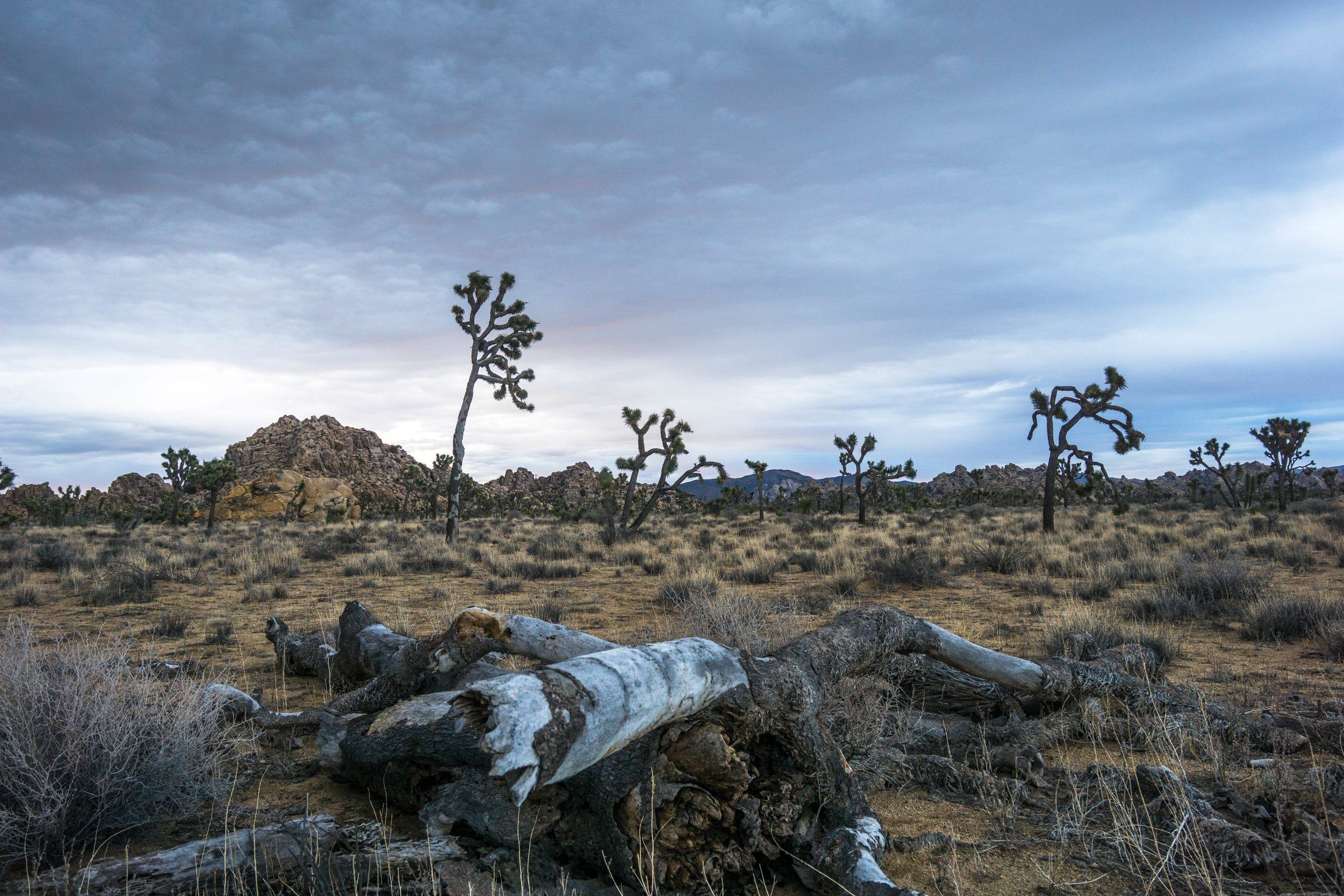 A fallen Joshua Tree rests among a forest of old friends. A small reminder that nothing is permanent.