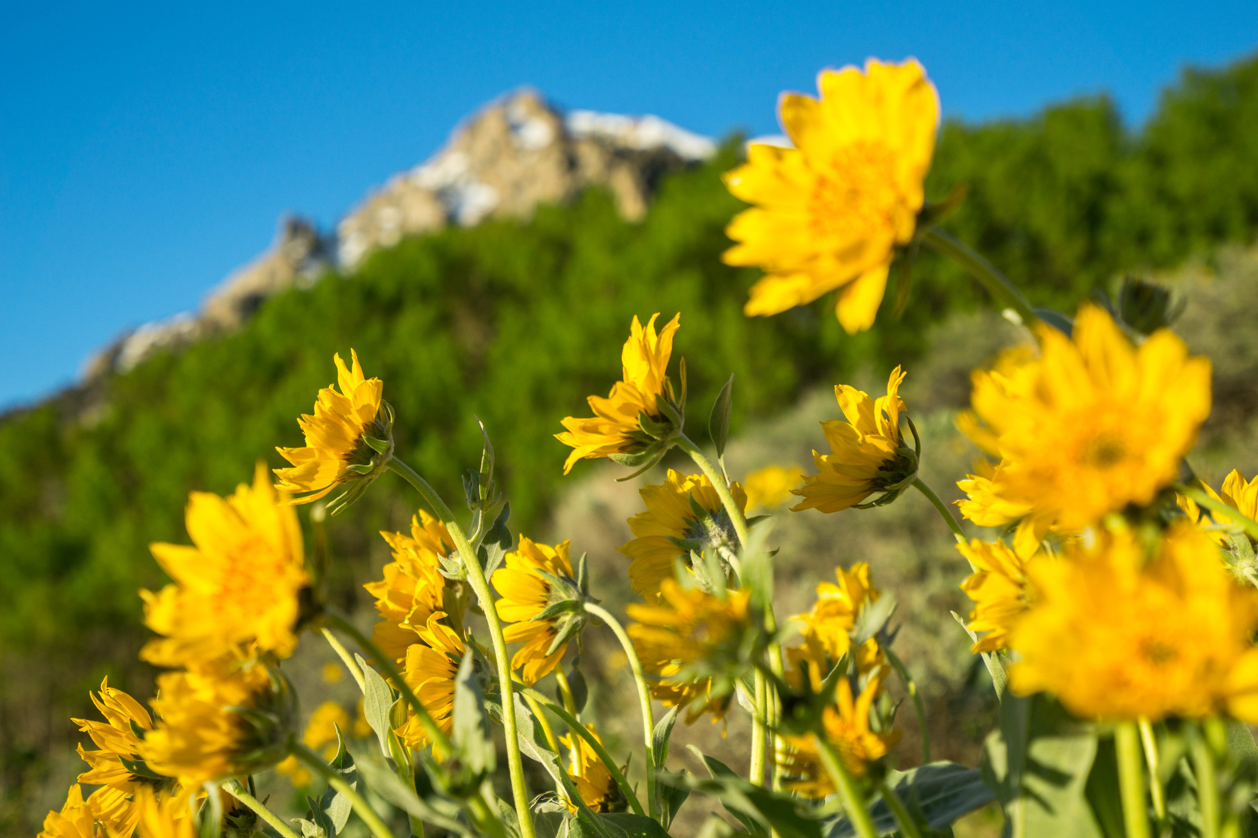 The best part about Sierra wildflowers is the varied blooming periods among different species, allowing them to be spotted from May through September. These flowers are the Arrow-leaved Balsam-root.