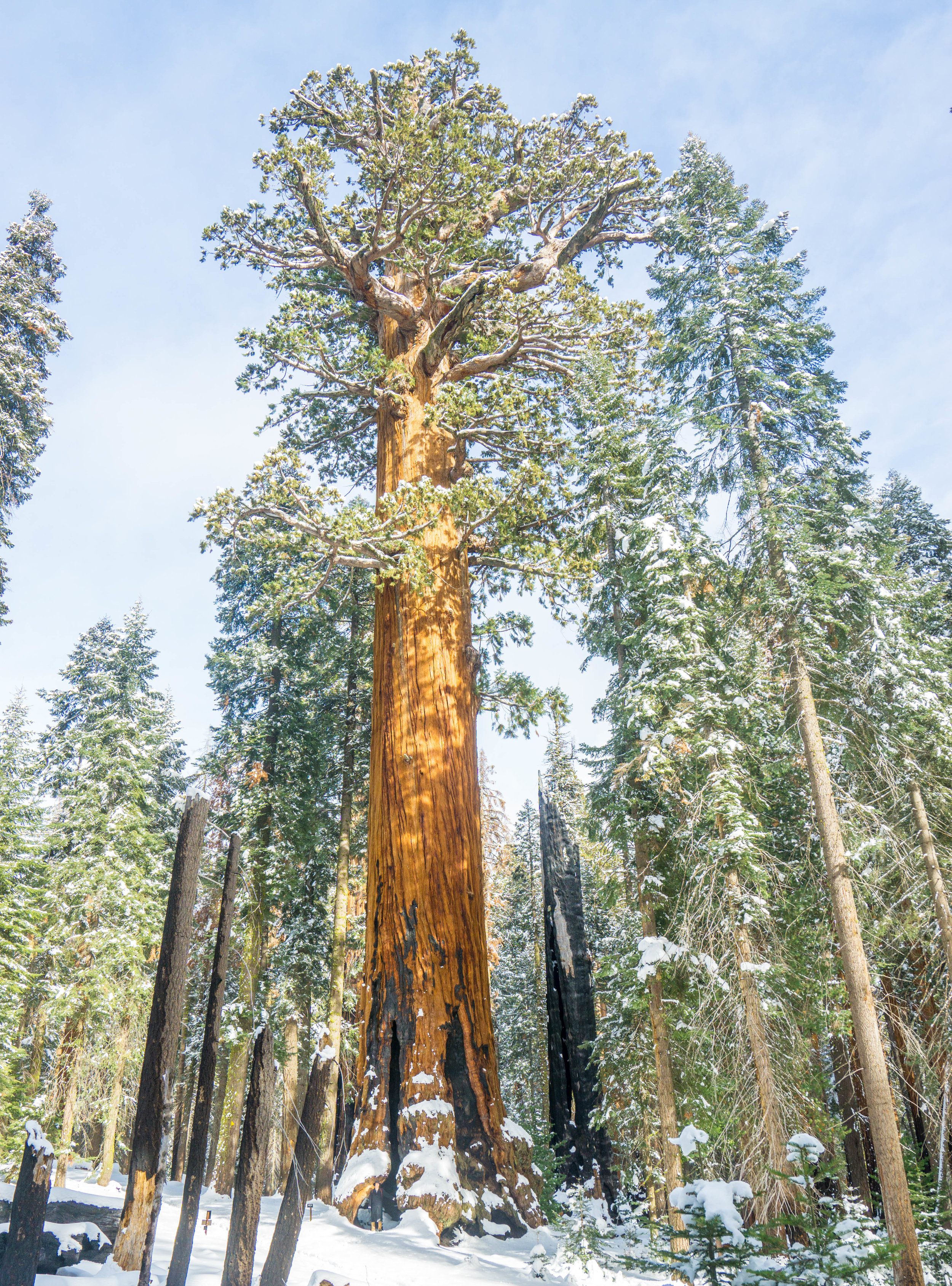 Alas we reach the Lincoln Tree, 4th largest in the entire world. Its so massive, even some of its branches alone are bigger than most normal sized trees.