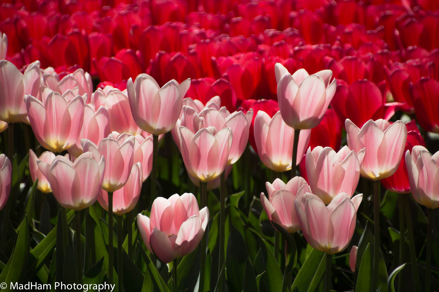 Pink Tulips, Red Background