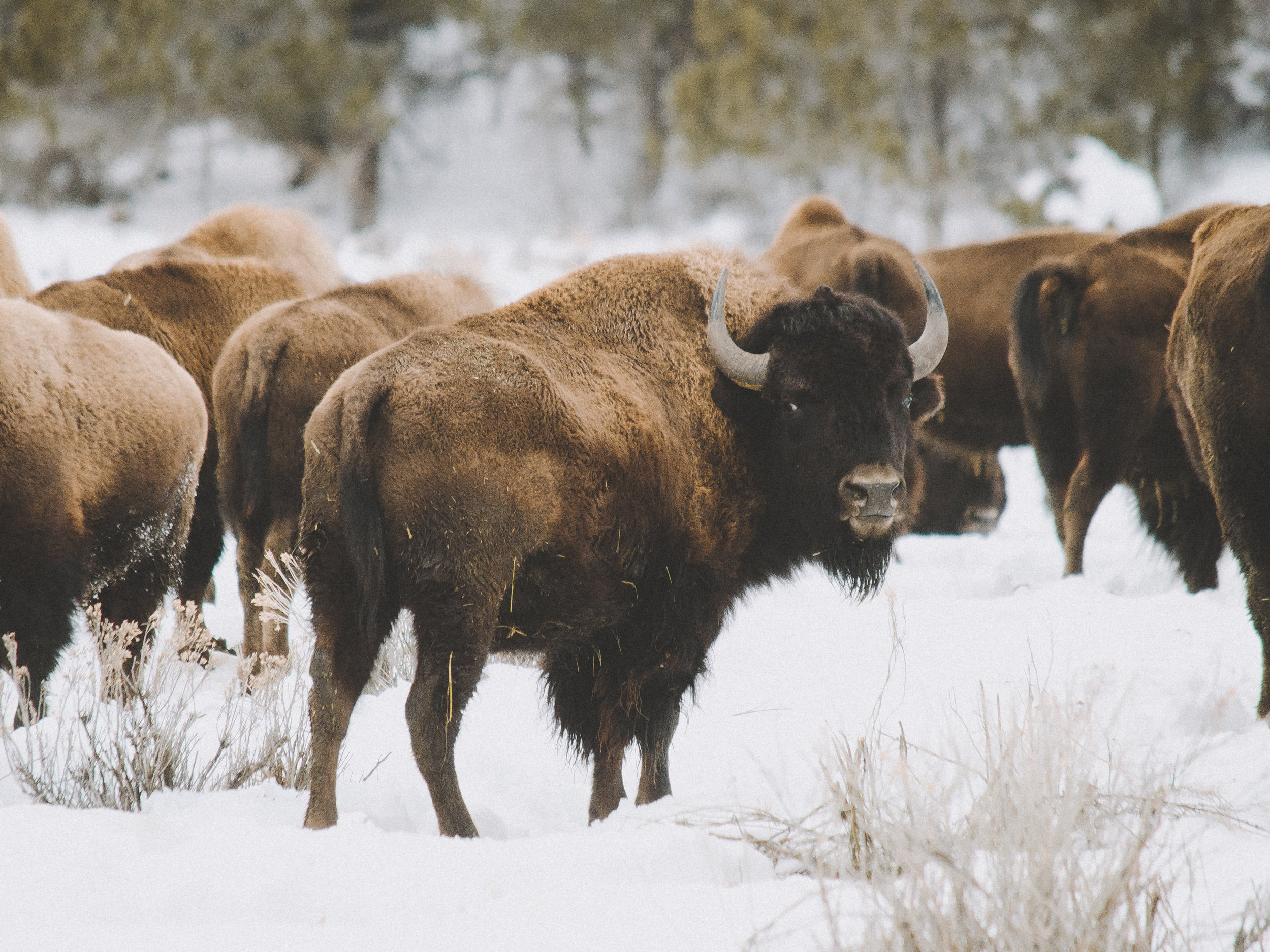 Bison in the Snow, Zion National Park, Utah
