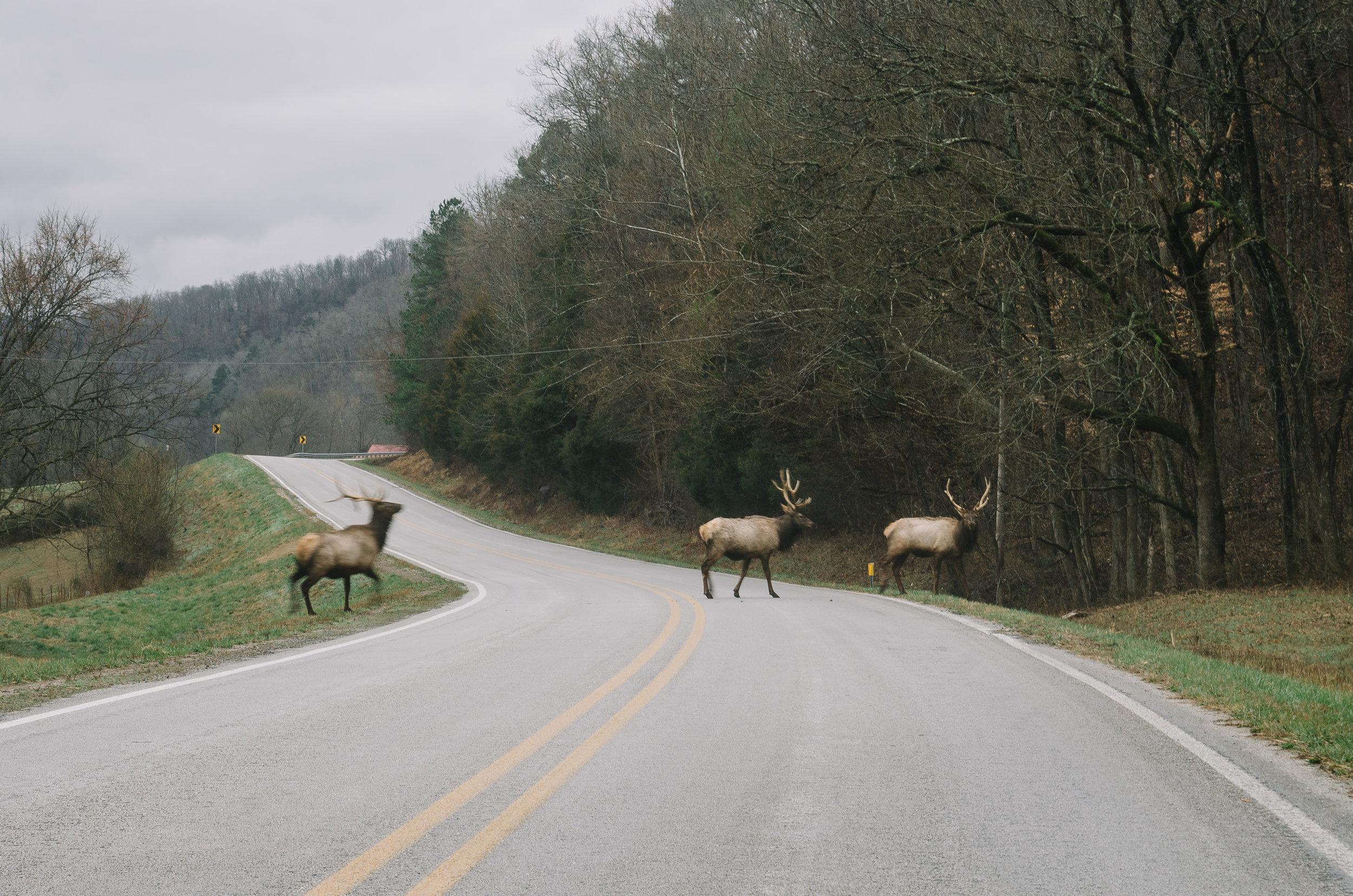 Bull elk crossing HWY 43 in Boxley Valley.