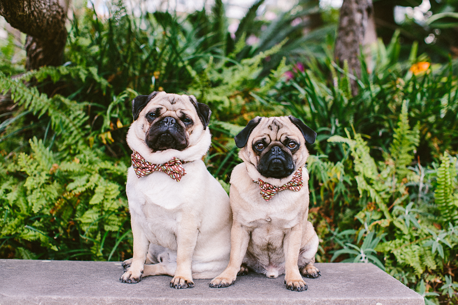 twoguineapigs_pet_photography_oh_jaffa_picnic_pugs_1500-21.jpg
