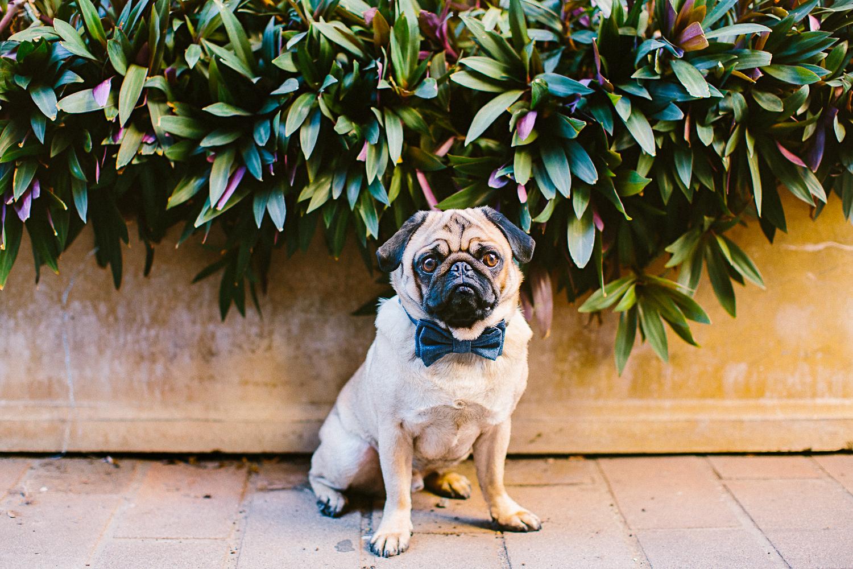 oh-jaffa-pug-bow-ties-dog-collars-design