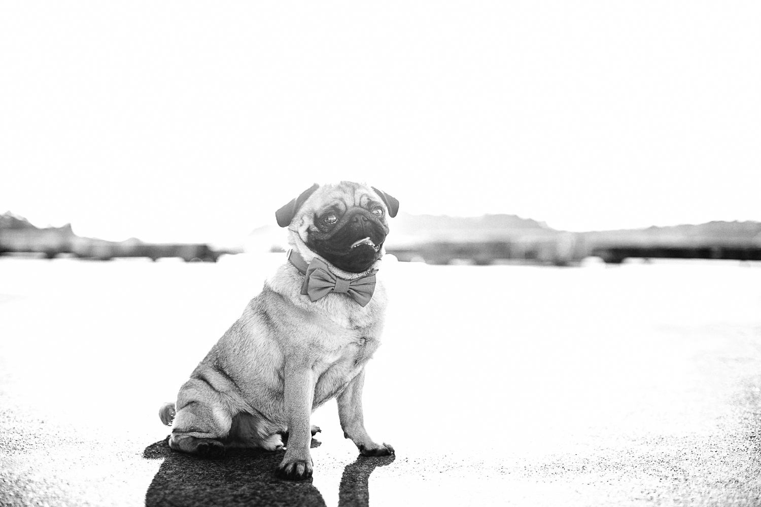 twoguineapigs_photography_oh_jaffa_pug_contact_blacandkwhite