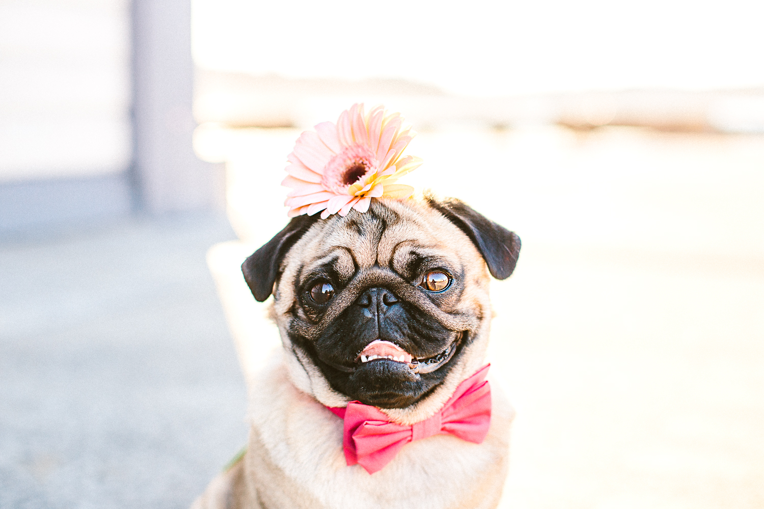 oh-jaffa-bow-ties-dog-collars_pug_with_bow_tie_twoguineapigs