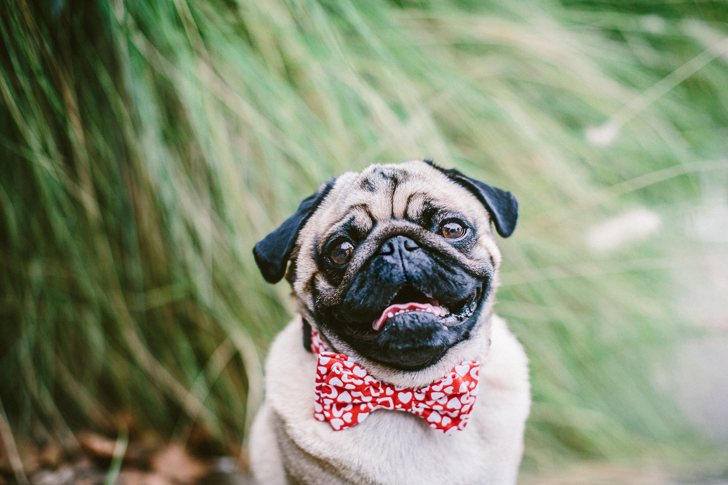 oh-jaffa-pug-bow-ties-dog-collars-design