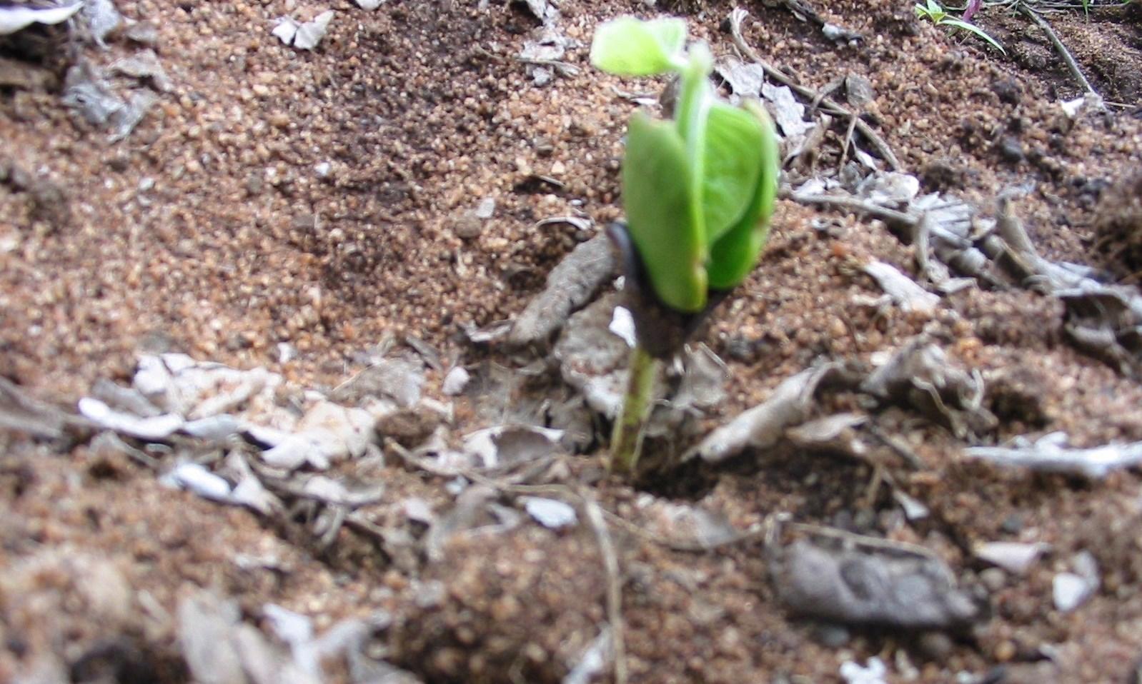 Panga Panga Tree just after germination