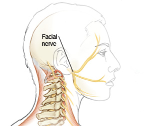 facial nerve .jpg