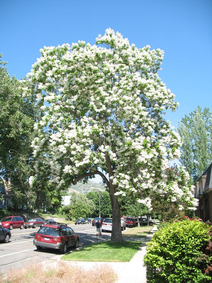 Northern Catalpa in Spring
