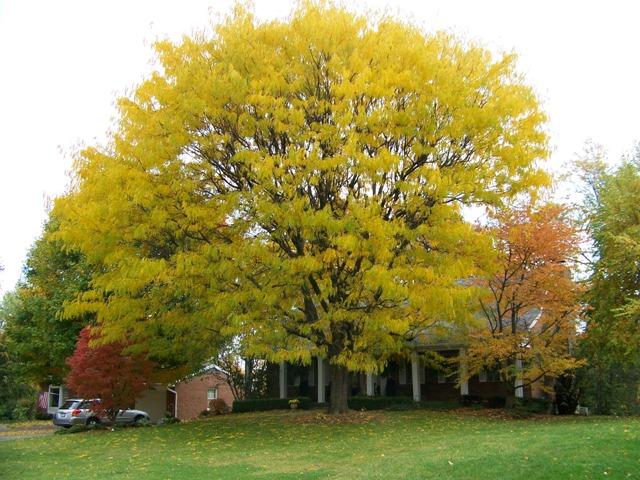 Honeylocust in Fall