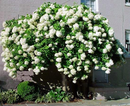 Tree form Hydrangea