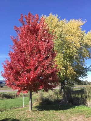 Autumn Blaze.jpg