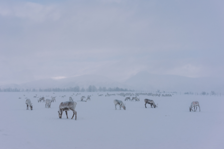 Tromso Artic Reindeer