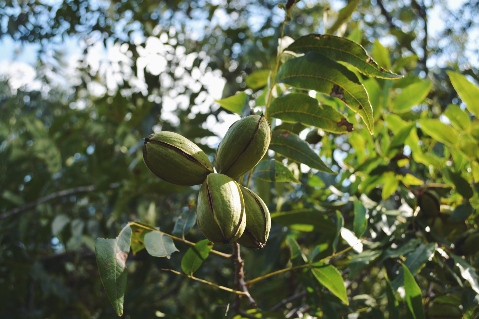 Unripe Pecans in the Husk