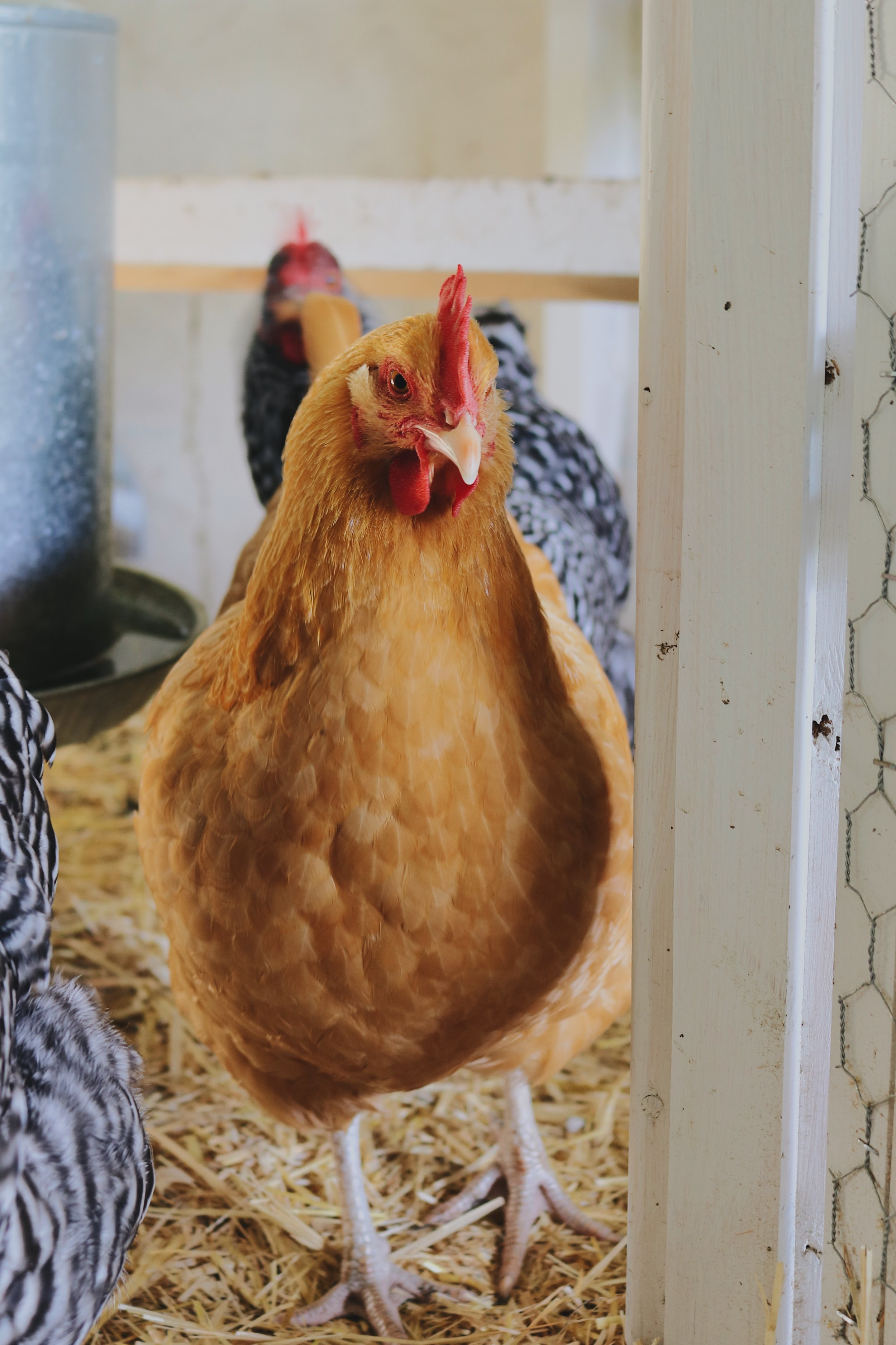 Homestead Update: Autumn Growth, Birthdays, and A Chicken Scare - Under A Tin Roof Blog