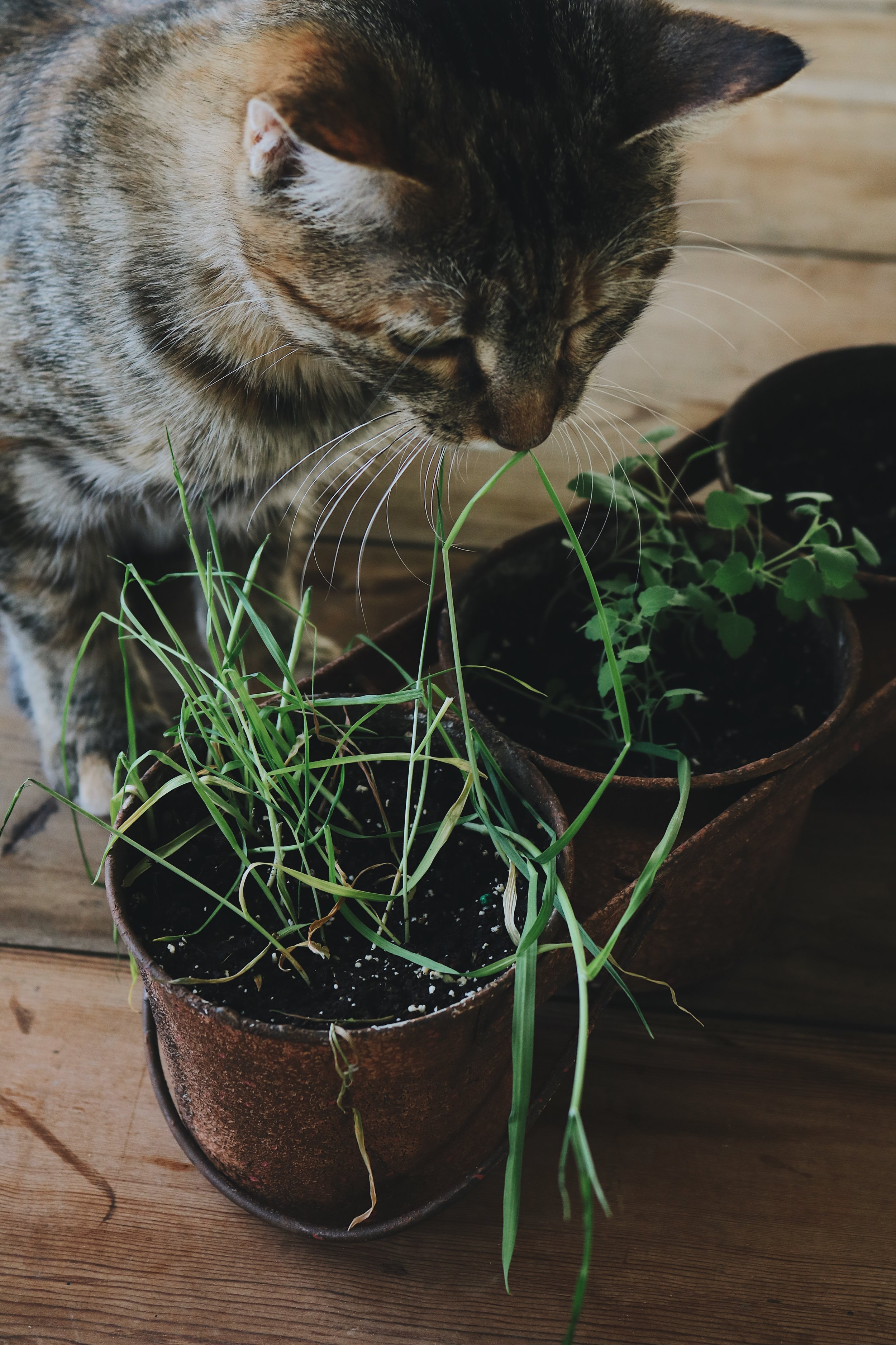 Returning to Our Roots   Growing Herbs for Cats - Under A Tin Roof Blog