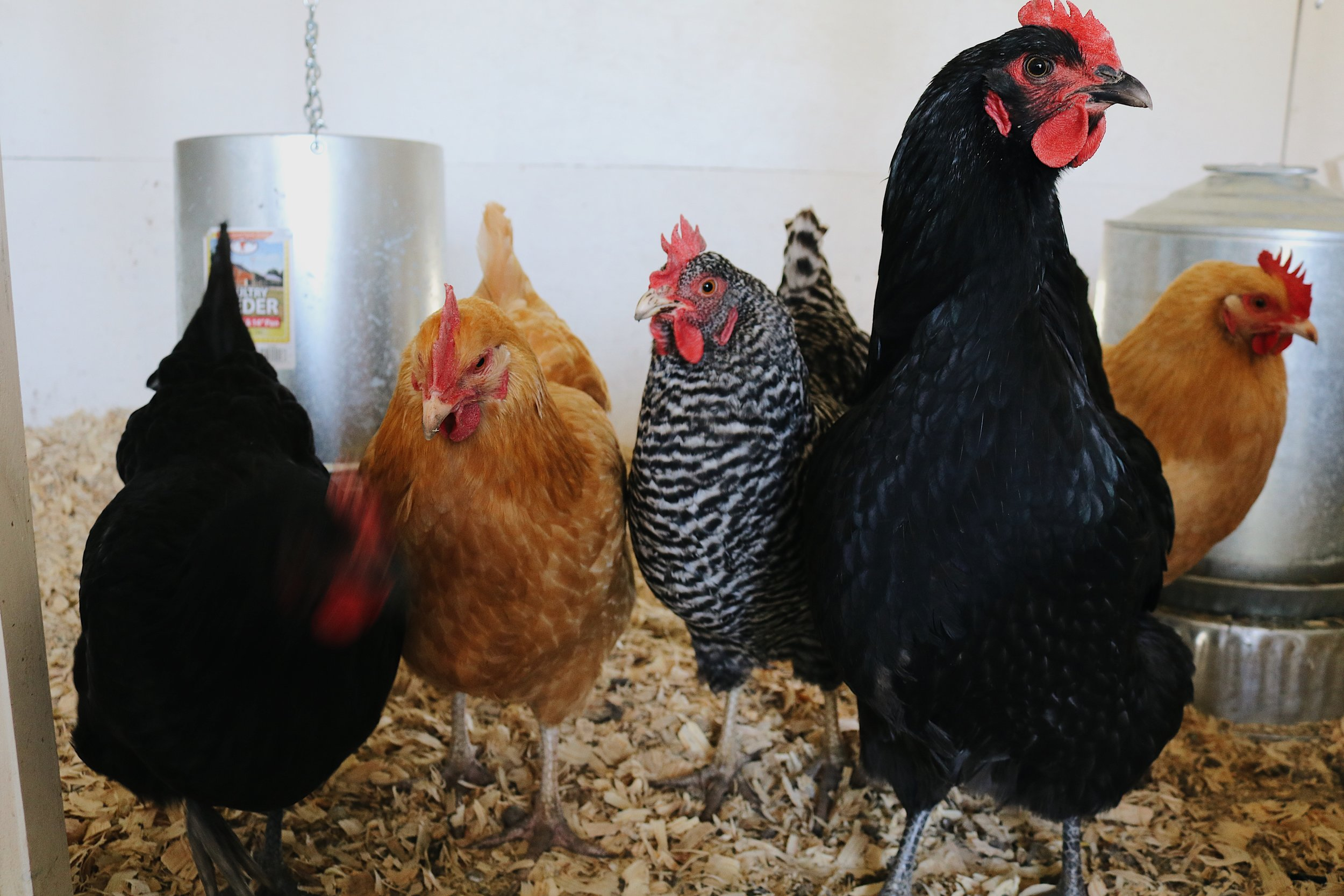 How to Speak Chicken | A Humble Book Review - Under A Tin Roof Blog