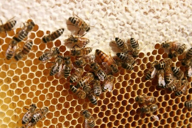 The Biology of the Honeybee - Under A Tin Roof Blog