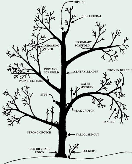 Garden Q+A: How Do I Prune Fruit Trees? - Under A Tin Roof Blog