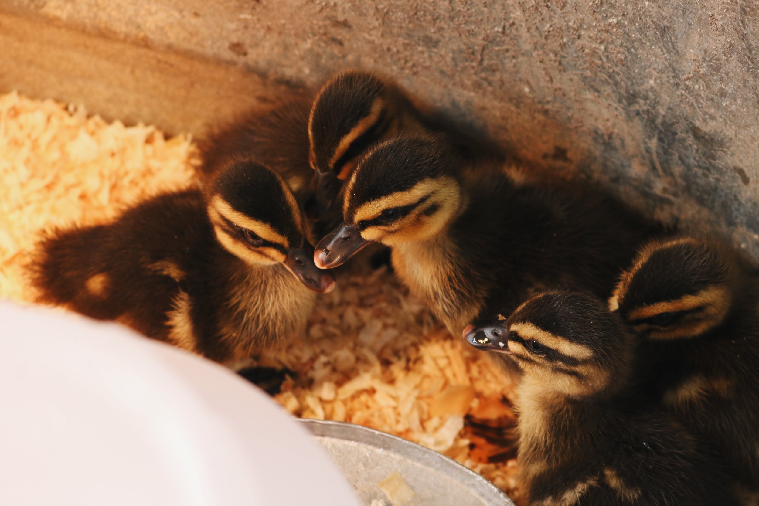 Homestead Update: The Ducks Have Arrived - Under A Tin Roof Blog