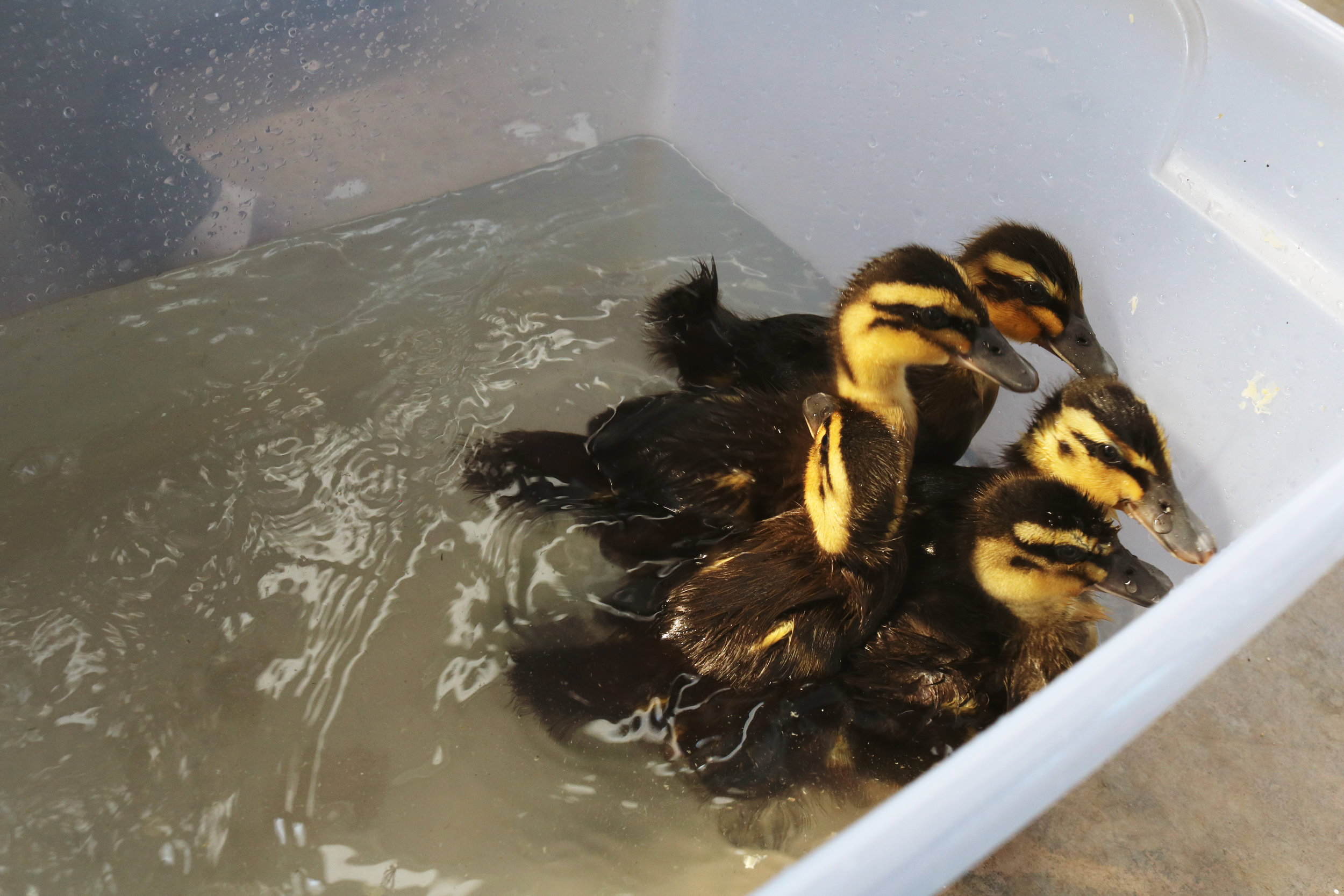 The Ducks Go for a Swim - Under A Tin Roof Blog
